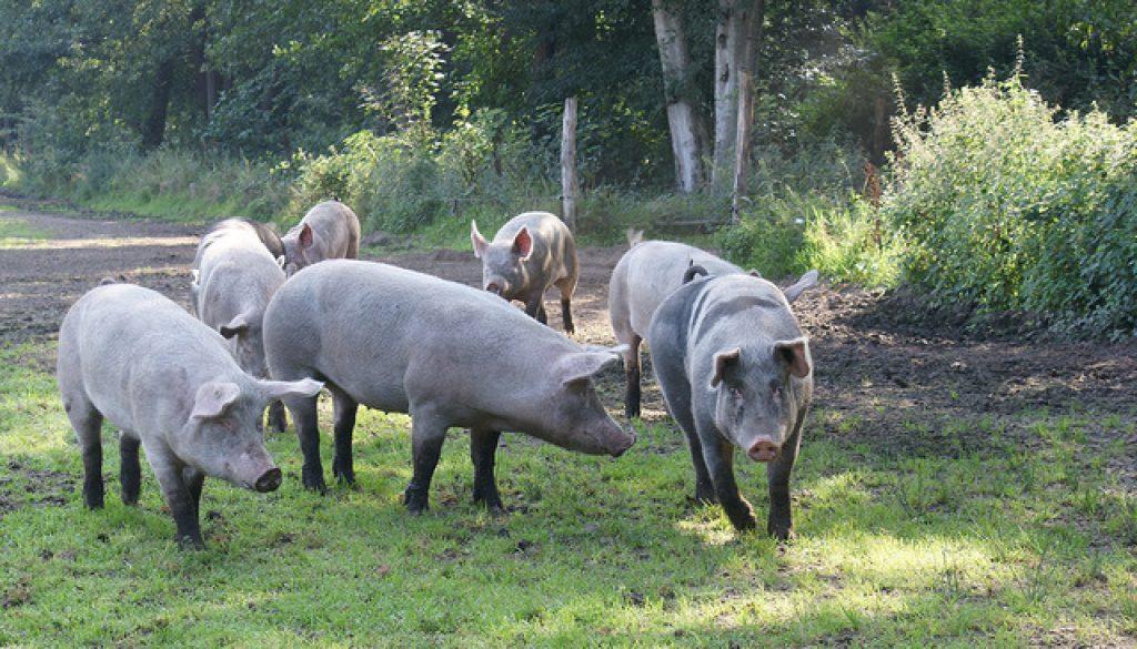 varkens in de weide